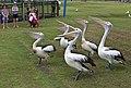 Clontarf Pelican feeding time-2 (6989387241).jpg