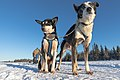 Close-up two sled dogs.jpg