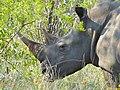 Close Encounter of the Grey Kind - White Rhino (Ceratotherium simum) close-up (11966346623).jpg