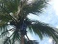 Coconut tree climbing DSCN0299.jpg