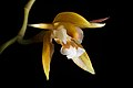 Coelogyne candoonensis Ames, Schedul. Orchid. 6 18 (1923) (41804382574).jpg