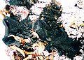 Collema subflaccidum-1.jpg