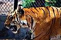 Collosal tiger.jpg