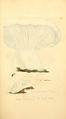 Coloured Figures of English Fungi or Mushrooms - t. 104.png