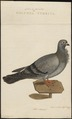 Columba domestica var. turbita - 1770-1829 - Print - Iconographia Zoologica - Special Collections University of Amsterdam - UBA01 IZ18900171.tif
