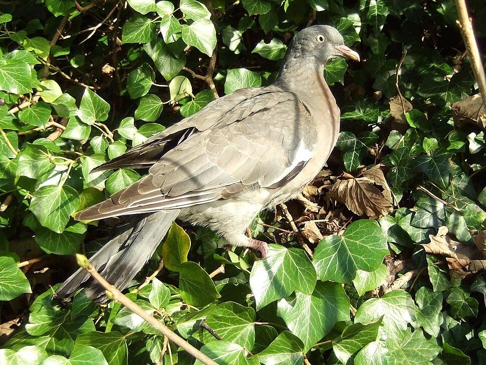 Columba palumbus -England -juvenile-8
