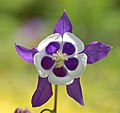 Columbine Aquilegia 'Blue Butterflies' Flower Front 2120px.jpg