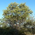 Combretum imberbe, habitus, Steenbokpan, b.jpg