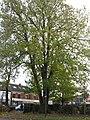 Common Ash in Marlborough Avenue - geograph.org.uk - 1043444.jpg