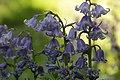Common Bluebell - Hyacinthoides non-scripta (41272771394).jpg