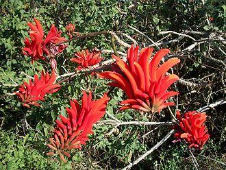 Amanzimtoti - A common coral tree at Vumbuka Conservation Area