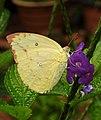 Common Emigrant Catopsilia pomona by Dr. Raju Kasambe DSCN1677 (3).jpg