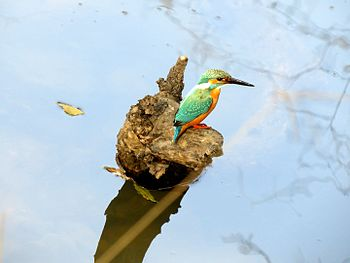 Common Kingfisher looking for a catch.jpg