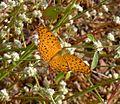 Common Leopard. Phalanta phalantha. Nymphalidae - Flickr - gailhampshire.jpg