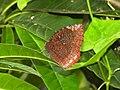 Common Palmfly Elymnias hypermnestra by Dr Raju Kasambe DSCN4297 (3).jpg
