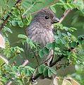 Common Rosefinch I IMG 3937-edited.jpg