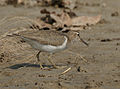 Common Sandpiper I IMG 1464.jpg