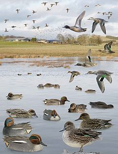 Common Teal from the Crossley ID Guide Britain and Ireland.jpg