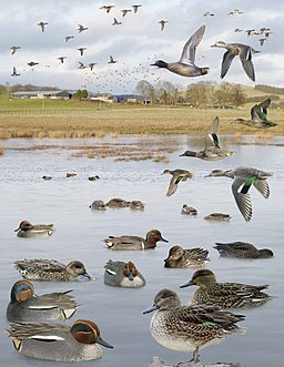 Common Teal from the Crossley ID Guide Britain and Ireland