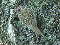 Common Treecreeper-Mindaugas Urbonas-1.jpg