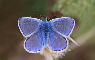 Common blue species of insect