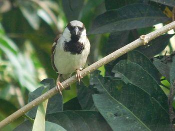 Common sparrow.jpg