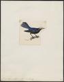 Conirostrum albifrons - 1820-1860 - Print - Iconographia Zoologica - Special Collections University of Amsterdam - UBA01 IZ19000423.tif