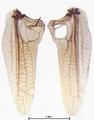 Conocephalus dorsalis, Vorderflügel.PNG