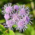 Conoclinium coelestinum (Blue Mistflower) (9373905137).jpg