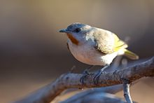 Conopophila rufogularis - Rufous-throated Honeyeater.jpg