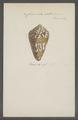 Conus cedonulli - - Print - Iconographia Zoologica - Special Collections University of Amsterdam - UBAINV0274 086 06 0023.tif