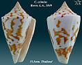 Conus eximius 4.jpg