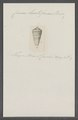 Conus luctificus - - Print - Iconographia Zoologica - Special Collections University of Amsterdam - UBAINV0274 086 07 0025.tif