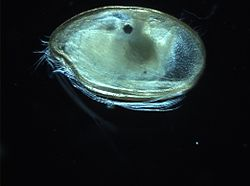 Copepod (unknown species).jpg