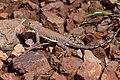 Cophosaurus texanus - Flickr - aspidoscelis (9).jpg