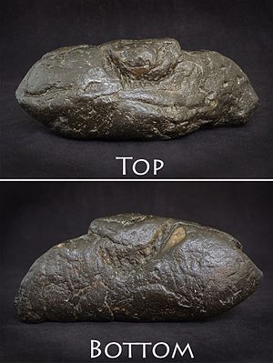 "Trace fossil - This coprolite shows distinct top and bottom jaw bite marks - Possibly from a prehistoric gar fish. Discovery Location: South Carolina, USA; Age: Miocene; Dimensions: 144.6mm X 63.41mm or 5.7"" X 2.5""; Weight: 558g (1lbs 4oz)"