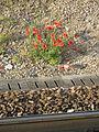 Coquelicots en gare de Vaires-sur-Marne.jpg