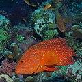 Coral hind, Cephalopholis miniata (26514709329).jpg