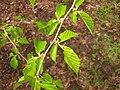 Corylus fargesii, Arnold Arboretum - IMG 6169.JPG