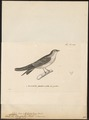 Cotile flavigastra - 1700-1880 - Print - Iconographia Zoologica - Special Collections University of Amsterdam - UBA01 IZ16700181.tif