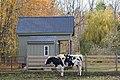 Cow (Bos taurus) - FrogHollow Farm Sanctuary 2019-10-26 (02).jpg
