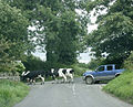 Cows driven across Burnt House Lane - geograph.org.uk - 1427596.jpg