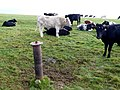Cows on the South West Coast path - geograph.org.uk - 1529124.jpg