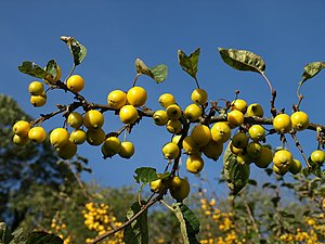 English: Crab Apples, The Rhins There seemed t...