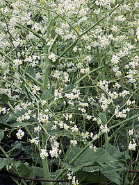 Crambe cordifolia plant close up