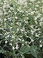 Crambe cordifolia plant close up.jpg