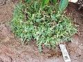 Crassula lanuginosa - Lyman Plant House, Smith College - DSC04312.JPG