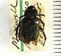 Cremastocheilus knochii LeConte 1853 - 5450719409.jpg
