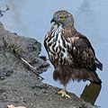 Crested Hawk Eagle at Kanha National Park.jpg