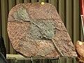 Crinoïdes ou lys de mer 35è édition Fossilium V.Ascq.JPG